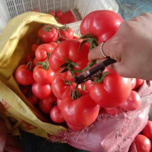 山東省臨沂市費縣硬粉番茄 通貨 弧三以上 硬粉