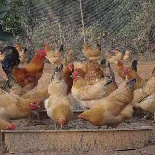 云南省昆明市官渡區 云南麻羽蛋雞苗,品種優良,產蛋率高,基地直供,疫苗齊全