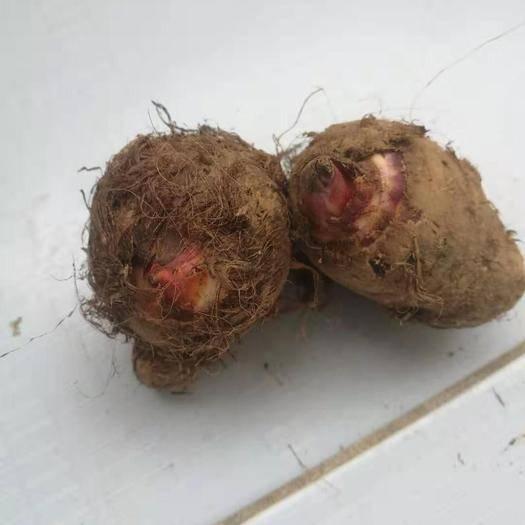 四川省攀枝花市米易縣 新鮮芋頭大量出售,芋頭質量有保證規格1——3兩的都有