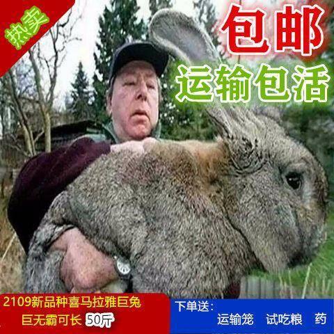 江蘇省徐州市新沂市獺兔種兔 2019新品巨兔喜馬拉雅兔活物可長50斤兔活體包郵