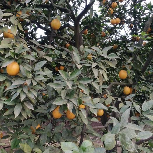 重慶市江津區紅光橙 甜過初念,精品柑橘,歡迎來購
