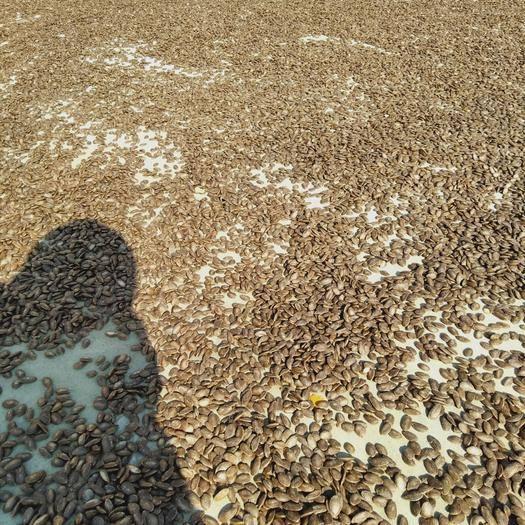 安徽省合肥市長豐縣瓜蔞籽 今年新瓜蔞子,籽大飽滿,色澤亮麗,歡迎咨詢購買