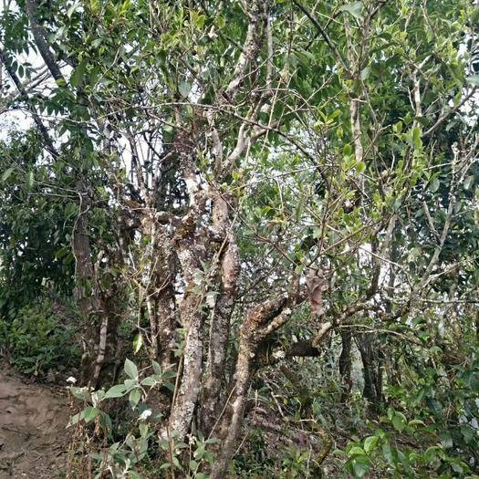云南省普洱市景谷傣族彝族自治縣老樹普洱 生態環境良好好