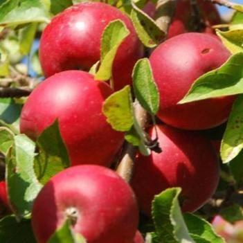 昌紅富士蘋果 山西