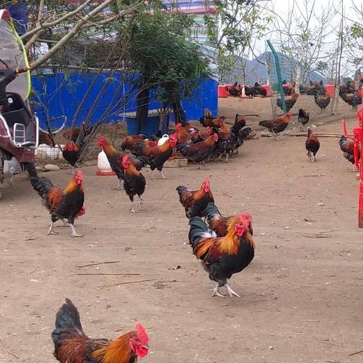 四川省遂寧市射洪縣 散養土雞 純糧食土雞瑤雞青腳土雞 歡迎實地參觀