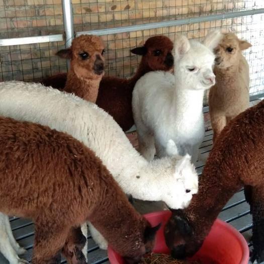 山東省濟寧市嘉祥縣 澳洲羊駝種羊駝觀賞羊駝