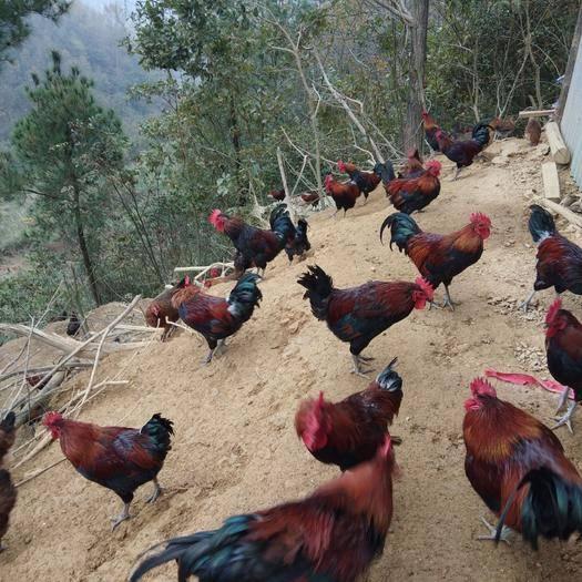 貴州省黔東南苗族侗族自治州麻江縣 散養土雞