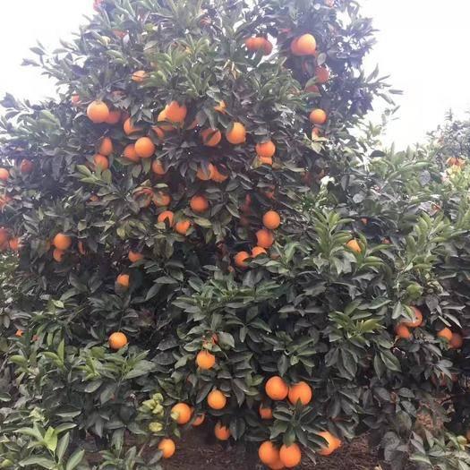 江西省贛州市尋烏縣 供應贛南臍橙,精品大果,現摘現發