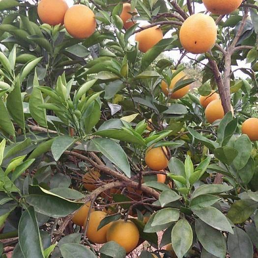 江西省贛州市瑞金市 贛南臍橙現采現發小果