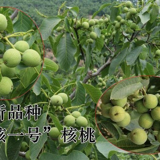 山東省淄博市臨淄區 薄皮核桃苗