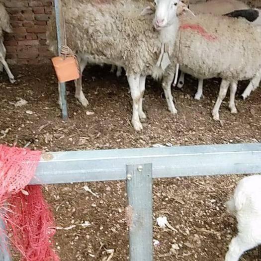 河南省商丘市寧陵縣 種公小尾寒羊出售,