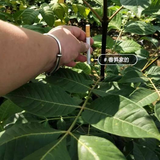 浙江省金華市蘭溪市吳茱萸苗 出售正宗中花吳茱萸扦插苗