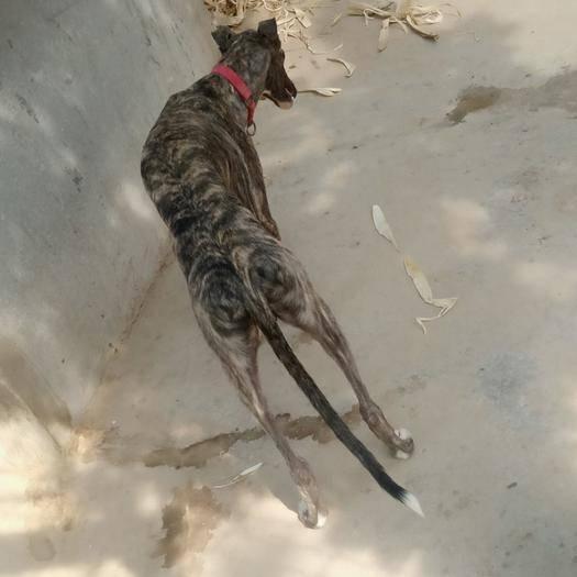 山東省菏澤市鄆城縣 獵兔犬,會掐狗,可單干