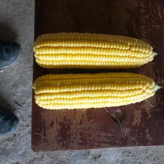 廣西壯族自治區崇左市大新縣 現摘,甜玉米大量現貨。