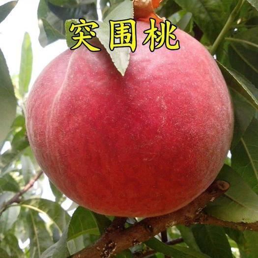 山东省临沂市平邑县 突围桃苗,挂果十五天不软,提供技术指导。
