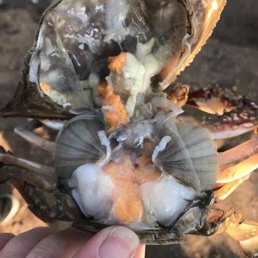 江苏省连云港市赣榆区 养殖梭子蟹,四两以上,带黄率80%