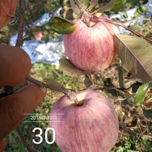 河南省三門峽市靈寶市 靈寶,天賜高原紅蘋果,黃土地果園紙袋紅秦冠富士