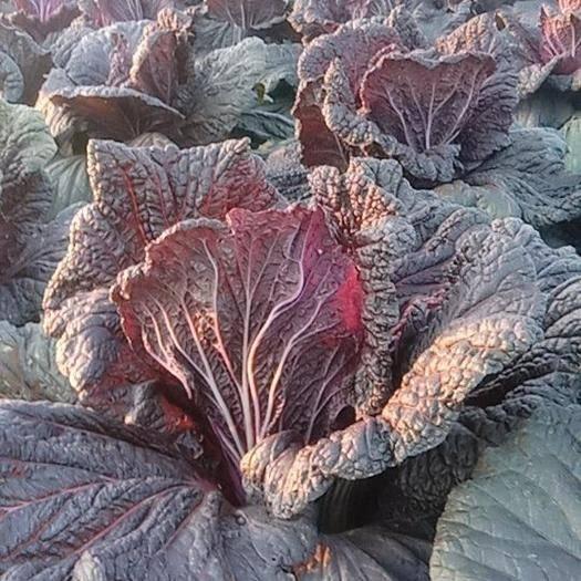 安徽省宿州市泗縣 自己種的無公害紫白菜