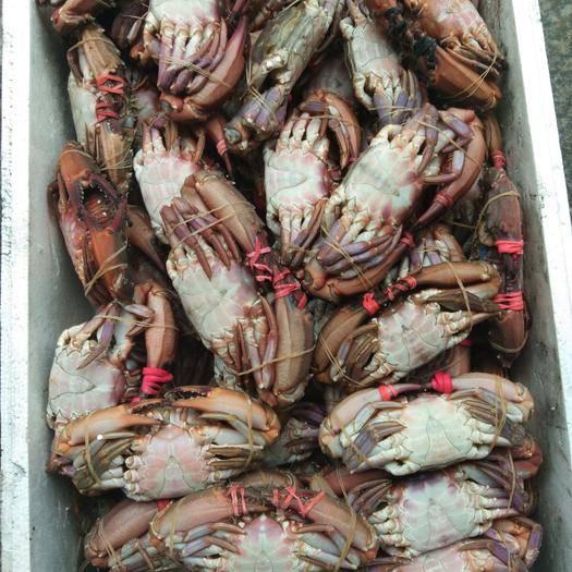 遼寧省丹東市東港市赤甲紅蟹 單凍赤甲紅3兩以上好規格