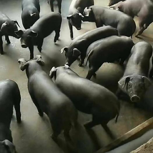 安徽省宿州市泗县 苏太母猪原种全国包邮包活到家