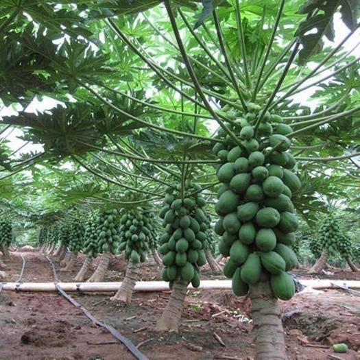 广西壮族自治区南宁市江南区 自家种植 广西青木瓜 煲汤做木瓜沙拉专用 非水果木瓜