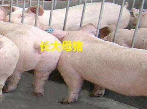 江苏省宿迁市沭阳县 长太母猪
