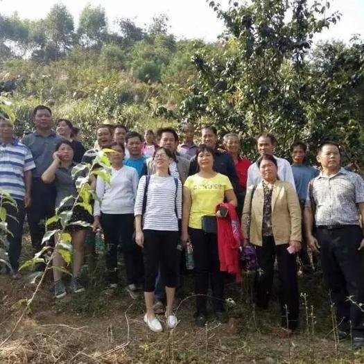 广西壮族自治区柳州市鱼峰区安吉黄金叶茶 常喝金叶子就会爱上金叶子