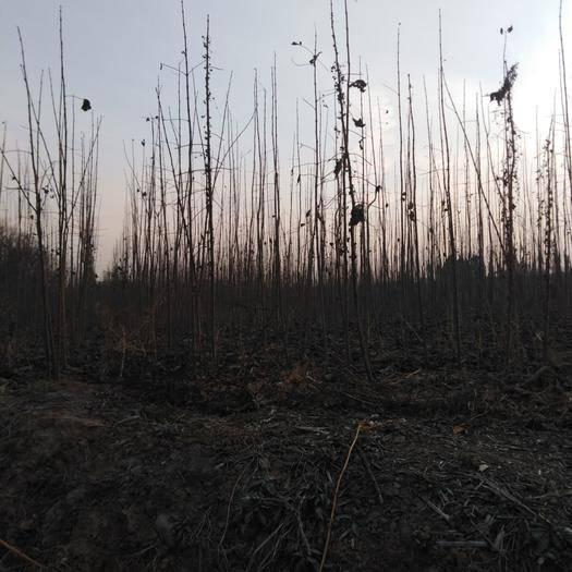 河南省平顶山市舞钢市 千亩杨树苗