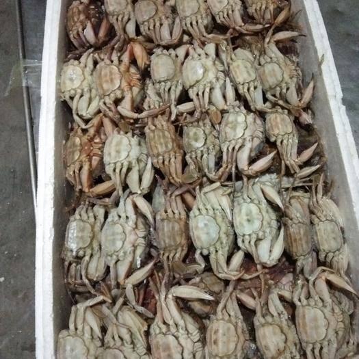 辽宁省丹东市东港市 纯母花盖蟹,一两以上规格。