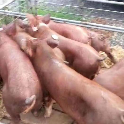 江苏省连云港市灌云县 新美系杜洛克  母猪  种公猪
