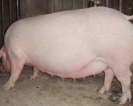 辽宁省阜新市蒙古族自治县 急卖孕母猪两头