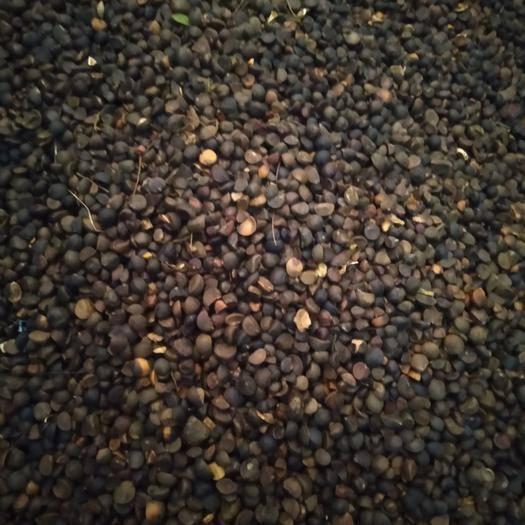 湖南省岳阳市汨罗市 油茶籽,出油率高。
