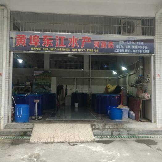 广东省河源市龙川县水库草鱼 客家古邑:枫树坝水库生态鱼 只有鲜味无腥味,无公害绿色产品。
