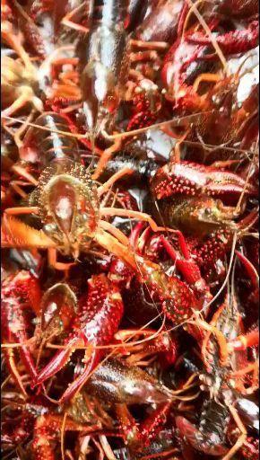 浙江省溫州市平陽縣 清水小龍蝦純生態養殖長年有貨