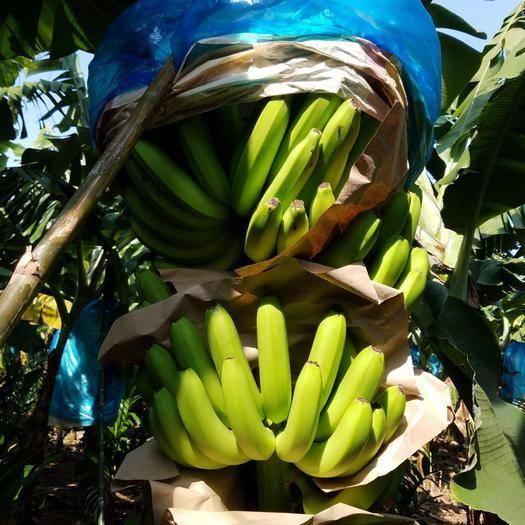 海南省乐东黎族自治县乐东黎族自治县 海南香蕉一等蕉