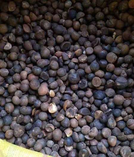 湖南省怀化市通道侗族自治县 大量供应野生山茶籽