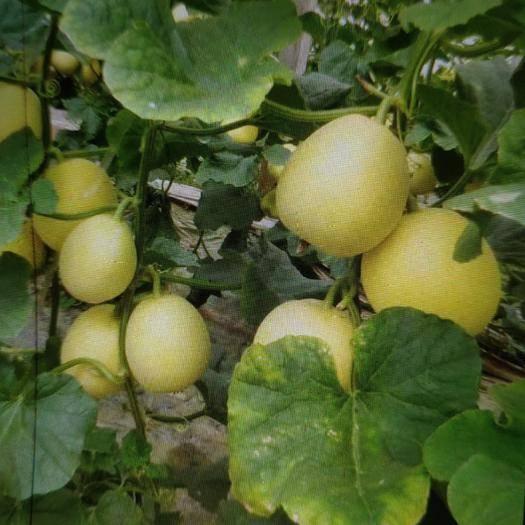 山东省潍坊市青州市星甜20甜瓜 0.5斤以上