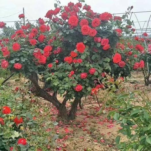 河南省南阳市卧龙区 2——8公分树桩月季,古桩月季,树状月季,质美价廉