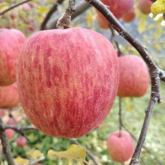 四川省甘孜藏族自治州康定市 四川甘孜州康定红富士糖心苹果