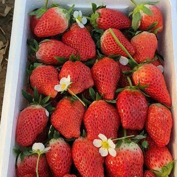 甜寶草莓 正宗有機奶莓大量上市,歡迎新老客戶前來采購