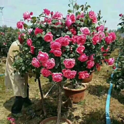 河南省南阳市卧龙区 3——8公分精品树状月季,自产自销