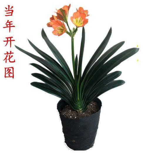 江苏省徐州市新沂市 君子兰苗绿植盆栽室内花卉