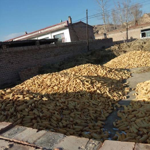 山西省忻州市静乐县玉米湿粮 2019年,秋收的优质玉米棒子,诚信出售,非诚勿扰。
