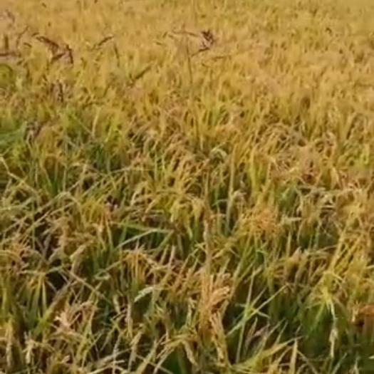 黑龙江省伊春市铁力市圆粒粳稻 出售减农药化肥的水稻(数量有限)