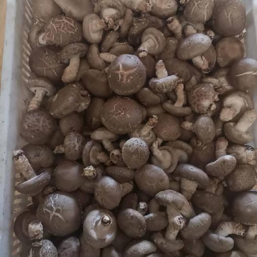 河南省南阳市西峡县普通香菇 9608冬菇
