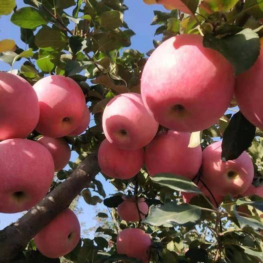 山东省临沂市蒙阴县红富士苹果 红富士中小果大量走货,供应大宗超市,市场