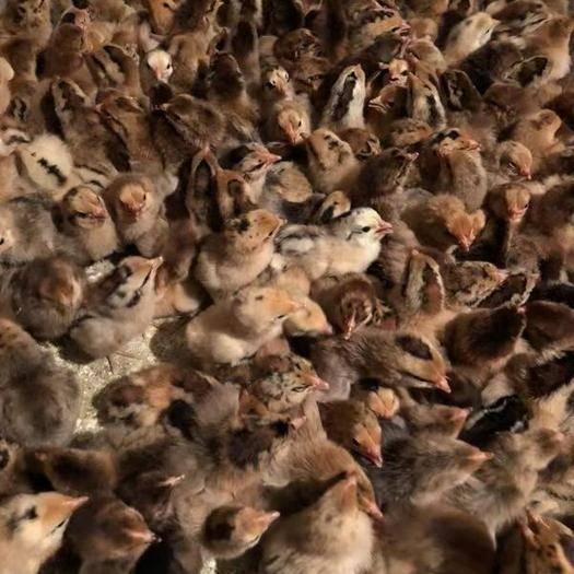 江苏省徐州市新沂市青脚麻鸡苗 青脚麻鸡。包防疫,包运输,包成活。