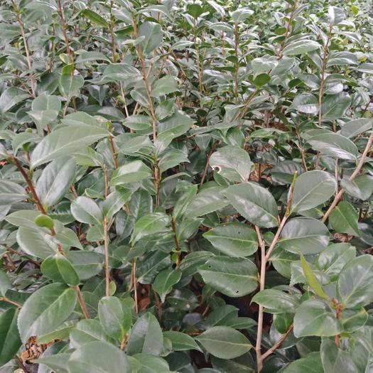 安徽省六安市金安區茶花樹 80~100cm