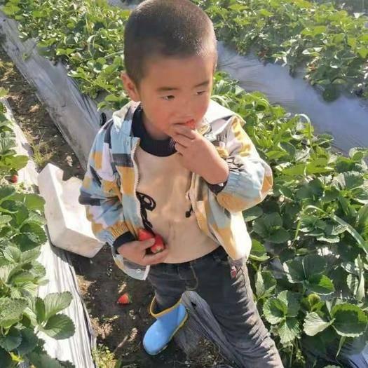 四川省凉山彝族自治州德昌县 大凉山草莓现摘现发支持代发