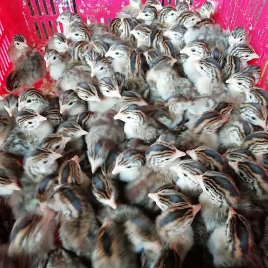 广西壮族自治区南宁市西乡塘区珍珠鸡苗 统货